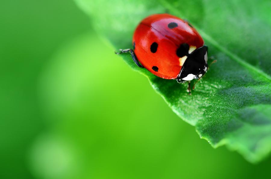 Ladybird Beetle Or Ladybug Presidential Pest Control Llc