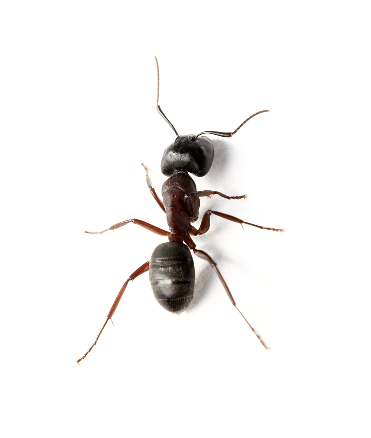 A Carpenter ant insect on white surface